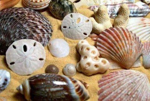 جمع صدف البحر في المنام Seashell Crafts Sea Shells Shells