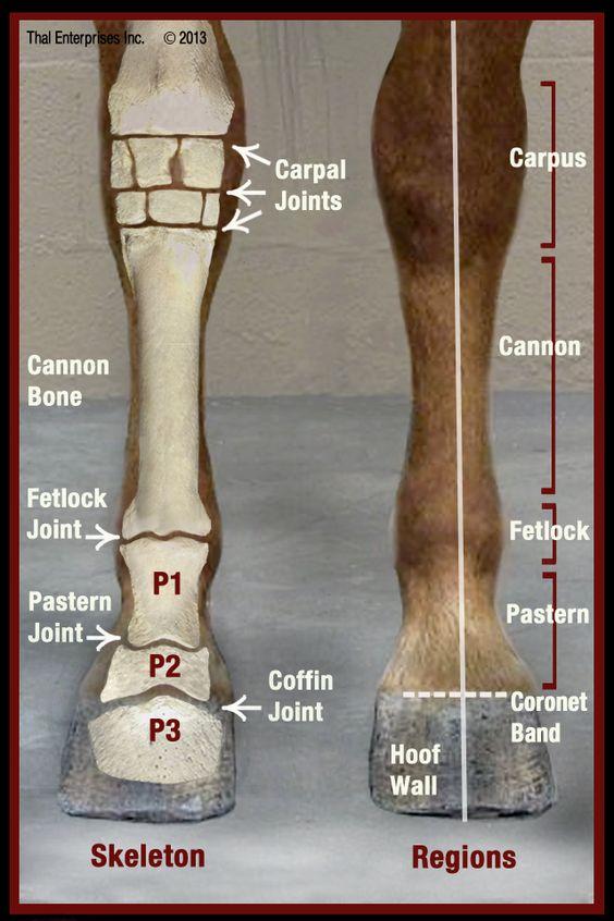 Horse front leg anatomy