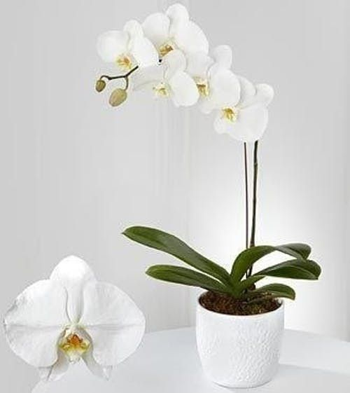Phalaenopsis Orchid Plant Tropical Flower Plants Orchids Phalaenopsis Orchid