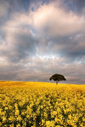 Rapeseed field - 菜の花畑