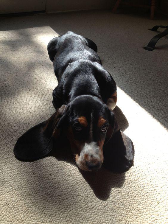 Daisy... typical basset hound