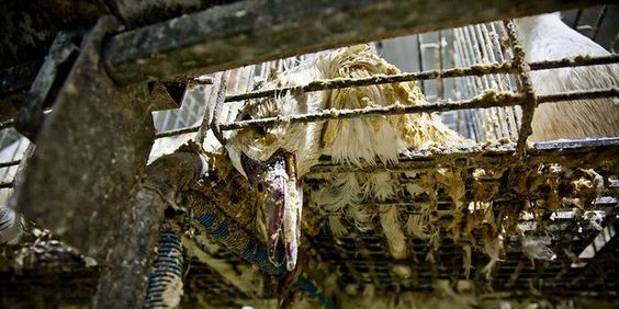 Ban the production and Importation of Foie Gras in Europe