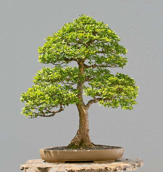 Walter Pall Bonsai Adventures: Chinese elm #1