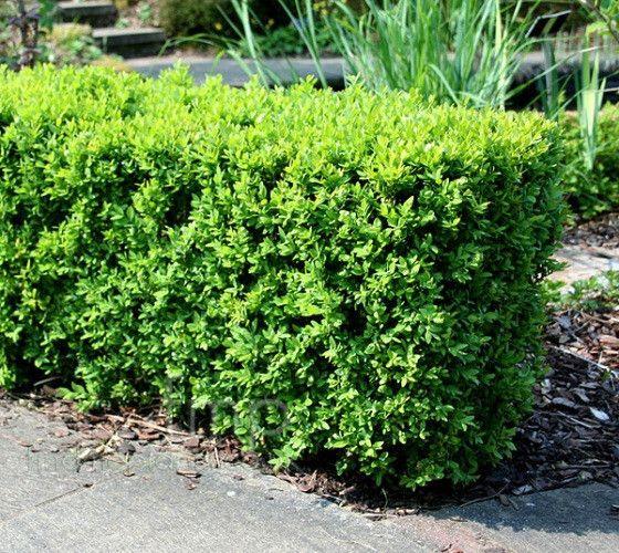 Japanese Boxwood ( Buxus )   New Life Nursery & Garden