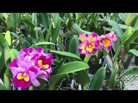 Cattleya Legacy Naming Ao 1765 Cattleya Orchid Plants Orchids