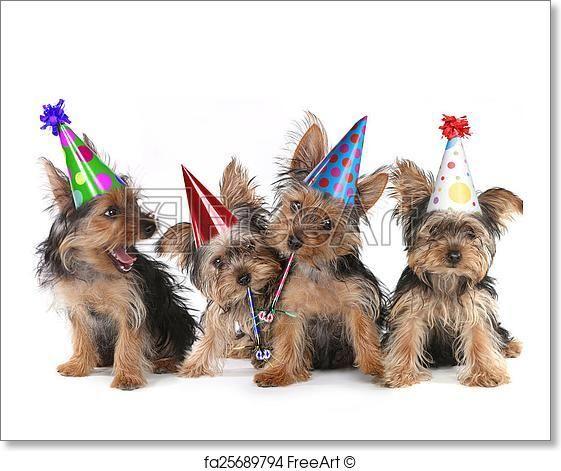 Free Art Print Of Birthday Theme Yorkshire Terrier Puppies On White Yorkshire Terrier Puppies Terrier Puppies Yorkshire Terrier