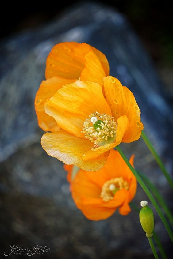 Poppy, tawny spring/ the maverick