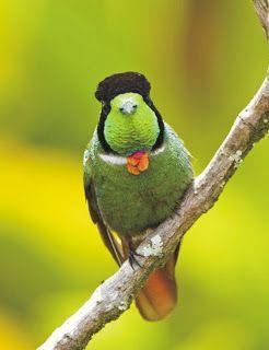 BIÓLOGOS DA CHAPADA: Beija-flor de gravata vermelha ave do reino animalia, filo chordata, tem seu nome cientifico Augastas Lumachella