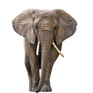 A raiva sobre a decisão KNP para matar elefante