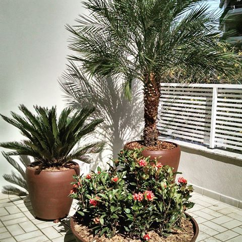 Arranjos ornamentais para pleno sol! #palmeirafenix #cica #ixoras #paisagismos #plantas #vasos #paisagista #jardinagem #jardim