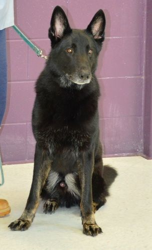 Andy is an adoptable German Shepherd Dog  in Zanesville, OH Andy is a beautiful German Shepherd.  We estimate his age to be 5 years old.  He weighs 75