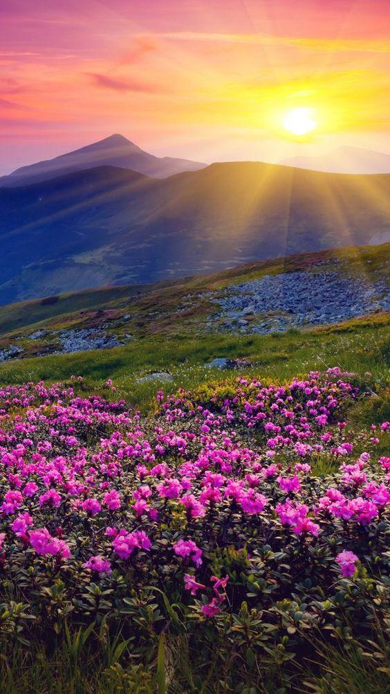 Magic pink rhododendron flowers on summer mountain, Carpathian mountains, Ukraine
