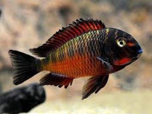 Tropheus Moorii Chimba Red Cichlids Cichlid Fish Aquarium Fish African Cichlids