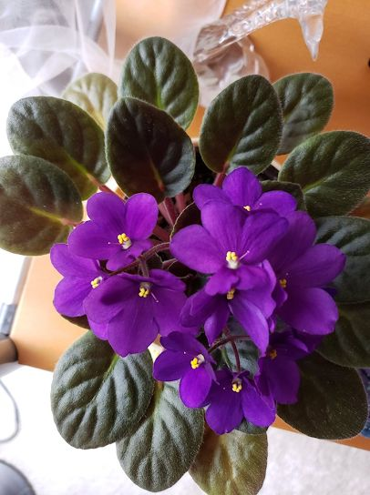 African Violet with NOID [ no-ID] grown by Connie Mortensen #AVSA #africanviolet #indoorplant #houseplant