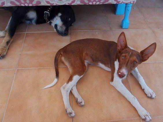 Perduts: TITUS, perrita desaparecida en Lliria (VALENCIA)