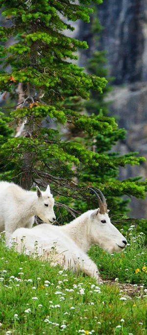 Mountain goats at Glacier National Park | visitglacierpark.com