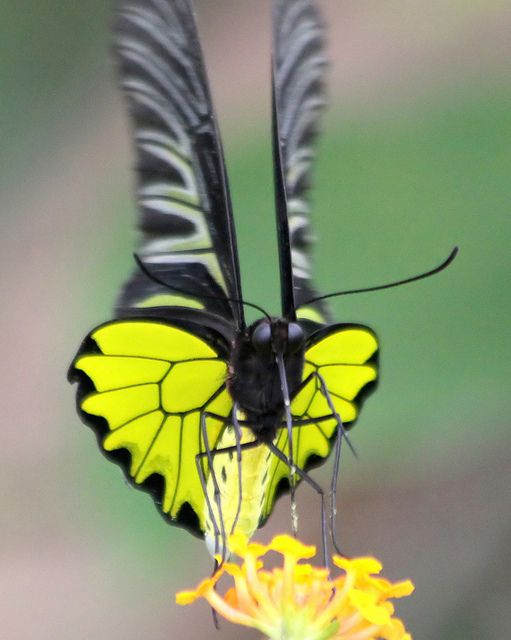 Golden Birdwing Butterfly (troides aeacus aeacus) by Thai pix Wildlife photography,,, via Flickr