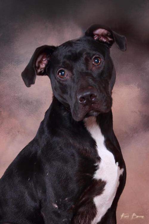 Adopt Maverick On Black Labrador Retriever Terrier Mix Dogs Bull Terrier Mix