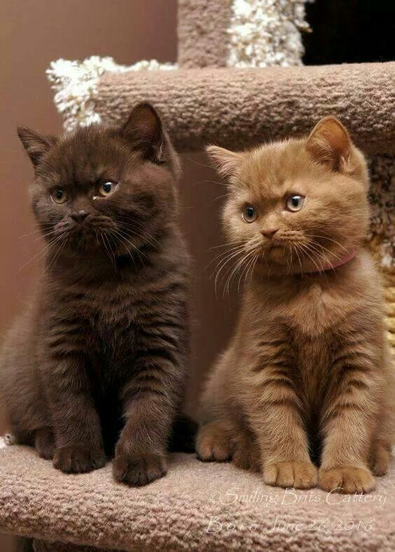 Pin By Raluca Fratea On Cats British Shorthair Kittens Cats And Kittens Kittens