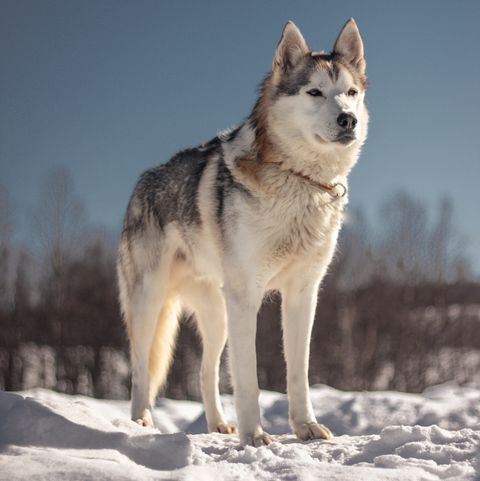 Did You Adopt A Wolf Or A Dog With These 9 Breeds It S Hard To