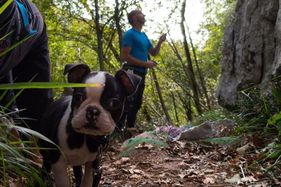 Rock Climbing with his Owners! - 2 Months Old Boston Terrier named Ula from Slovenia ► http://www.bterrier.com/?p=30531 - https://www.facebook.com/bterrierdogs