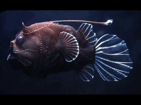 The two angler fish and facts on pinterest for Angler fish habitat