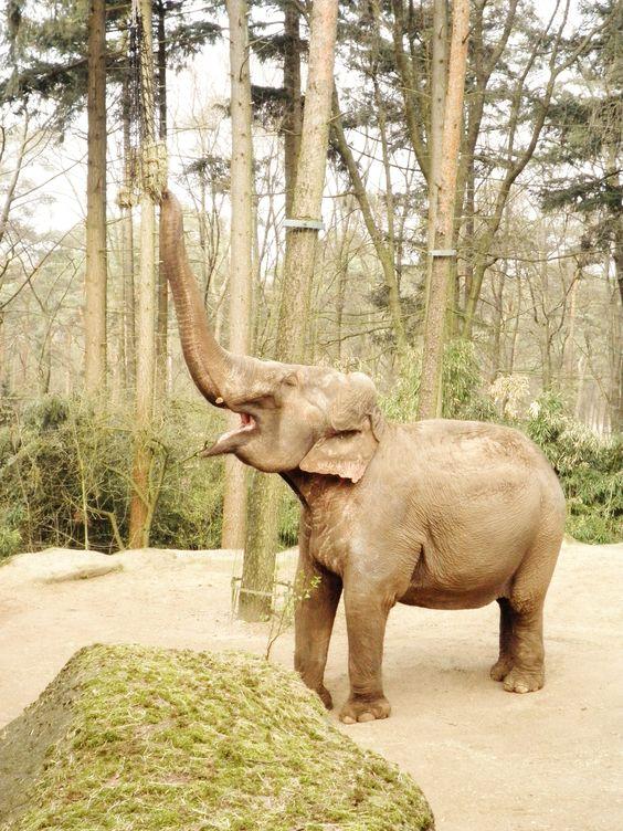 Happy elephant likes it's haynet :) Burgers Zoo, Netherlands.