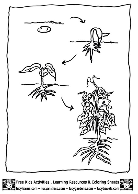 bean-plant-lifecycle-bean-coloring-page-1 gif  603 u00d7848
