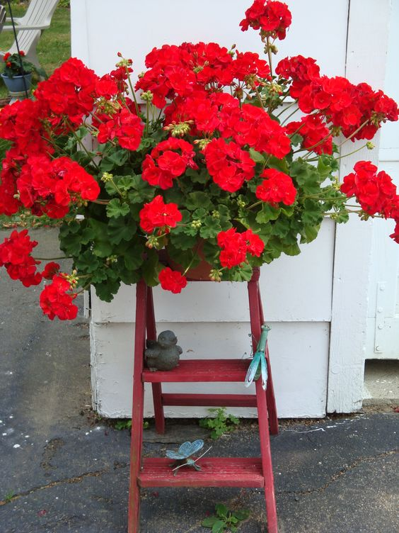 garden ideas :: Red geraniums on a red step ladder. | repinned by www.blucats.com