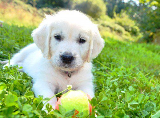 The Truth About English Cream White Golden Retrievers White