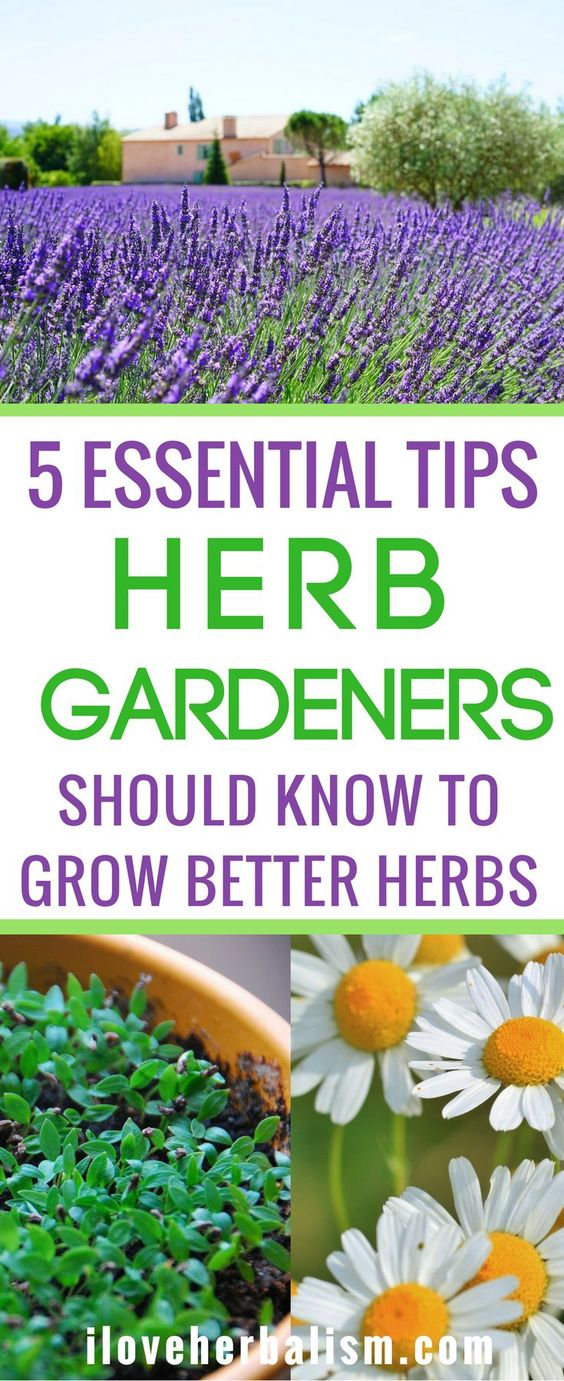 As all experienced gardeners will know, growing herbs look so simple but in reality it's not so easy. They can become very difficult to maintain and flourish. In this article, Rachel de Thame, the gardener and television presenter, shares her wisdom on how to grow better herbs.