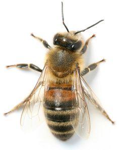 Bee venom: The key to healthy, youthful skin