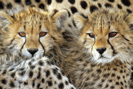 """Cheetah Cubs"" - photo by Michael Poliza, via Flickr;  Okavango Delta, Botswana"