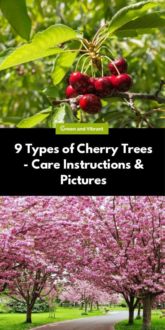 Cherry Trees Buying Growing Guide Trees Com Types Of Cherries Cherry Tree Weeping Cherry Tree