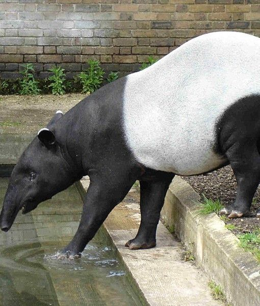 MALAYSIAN TAPIR   Family: Tapiridae (Tapirs)  Habitat: Tropical Rain Forests   Although Malaysian tapirs look like pigs, they are most closely related to horses and rhinos.