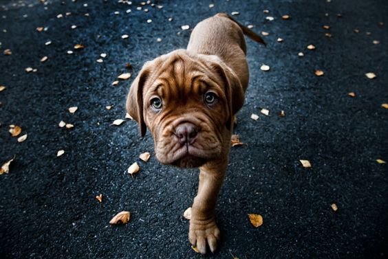 This baby Dogue de Bordeaux (French mastiff) is coming at you. Photo by Mikkolo77 on Deviantart.