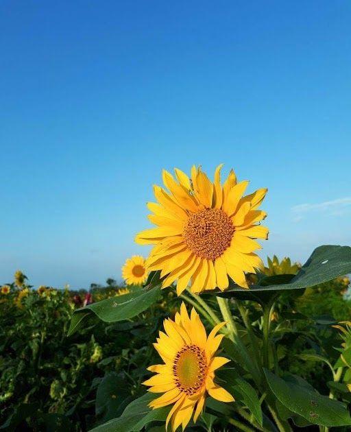 Gambar Tumblr Bunga Matahari Kebun Bunga Matahari Bantul Spot Romantis Untuk Hunting Foto Bungamatahari Tumblr Lockscreen Backgrou Di 2020 Bunga Kebun Bunga Gambar