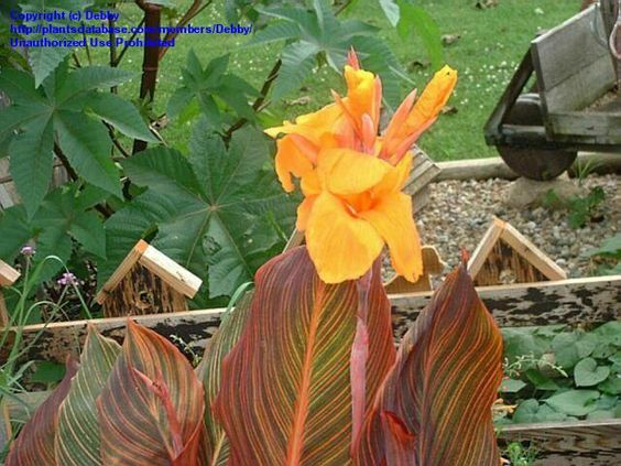 Full size picture of Canna Lily 'Tropicanna' (<i>Canna x generalis</i>)