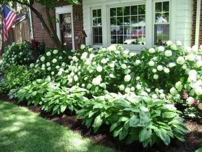 Hydrangea and hostas for the front yard!