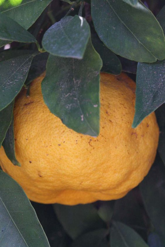 Nansho Daidai another cold hardy citrus to try up north.