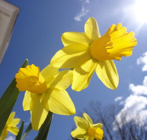 Daffodil Sunshine by cedarlili.deviantart.com on @deviantART