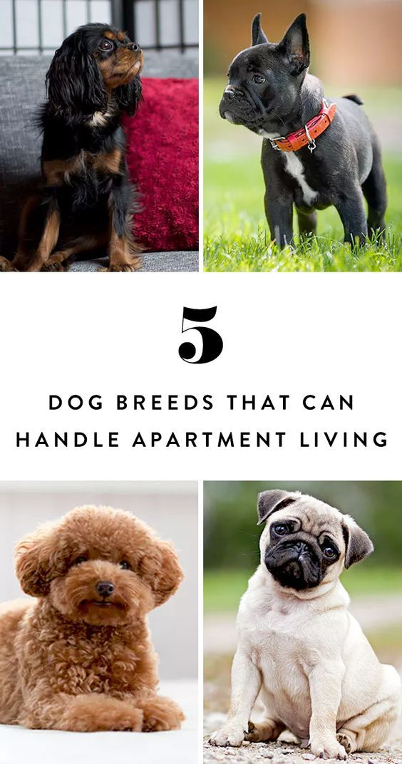 5 Dog Breeds That Can Totally Handle Living In An Apartment Dog Breeds Little Dog Breeds Best Apartment Dogs