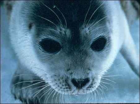 Pusa hispida, Photographer:  National Marine Mammal Laboratory, Alaska Fisheries Science Center, NOAA Fisheries Service, http://eol.org/data_objects/964158