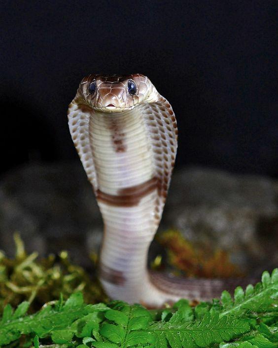 Naja sputatrix--juvenile Javan spitting cobra | by markusOulehla