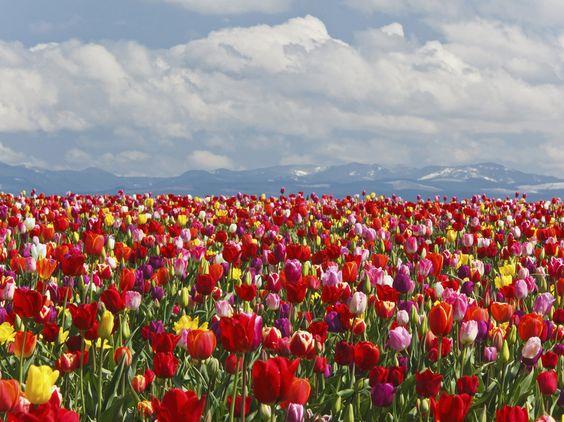 This Weekend in Woodburn, Oregon: Tulip Festival Season Begins - Condé Nast Traveler