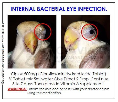 Akhilchandrika Internal Bacterial Eye Infection Bacterial Eye Infection Eye Infections Love Birds Pet