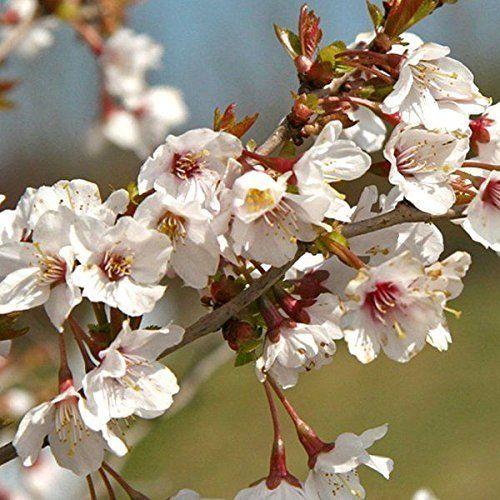 Prunus Incisa Kojo No Mai Plant Dwarf Fuji Cherry Tree Deciduous Flowering Shrub Prunusincisa Custom Small White Flowers Prunus Flowering Cherry Tree