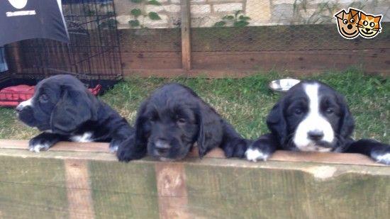 Sprocker Spaniel Pups for sale | Cheltenham, Gloucestershire | Pets4Homes