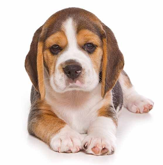 Thinking About Getting Another Beagle If We Could Find The Right