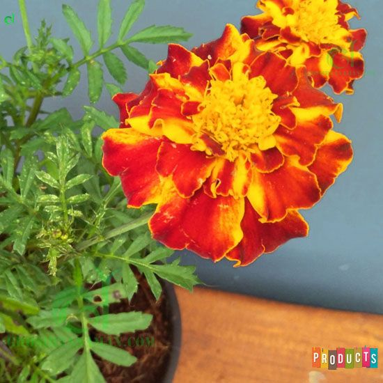 Marigold Bunga Orange Queen Sophia Marigold Tanaman Bunga Kuning Bunga